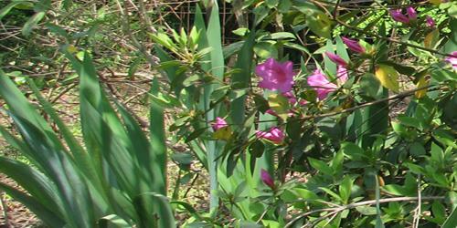 irises and azelas