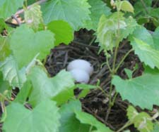 The eggs of a Mourning Dove