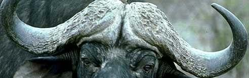 cape buffalo - very aggressive and dangerous...