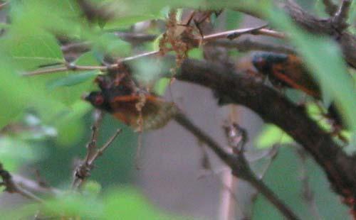cecadas in Georgia image