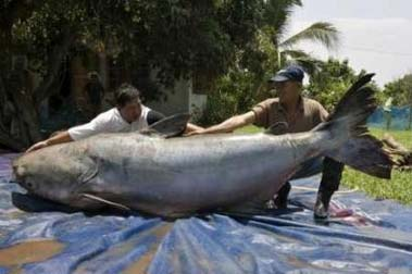 World Largest Catfish