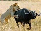 Lion attacking a water buffalo! Awesome photo, Click for closerr view