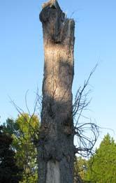 the lone oak is not alone!