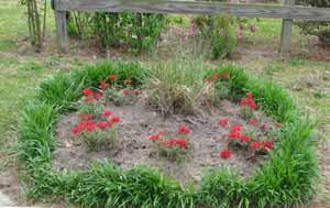 lucky horseshoe verbena garden