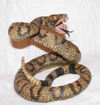 Rattlesnake School Mascot