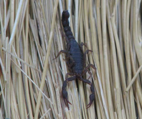 scorpion found in central georgia