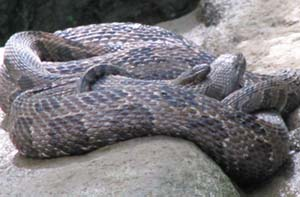 brown water snakes pairing and mating