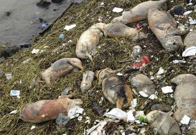 Dead pigs floating in  Huangpu River, Songjiang district in Shanghai, China