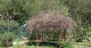 grape arbor in spring