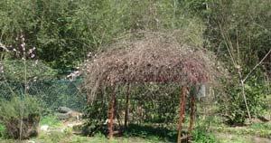grape arbor in spring