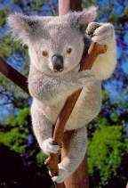 Koala Bear - stoic, tenacious and changeable
