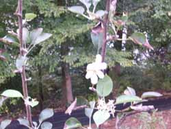 Apple Tree stil Blossoming