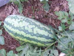 Watermelon ful grown