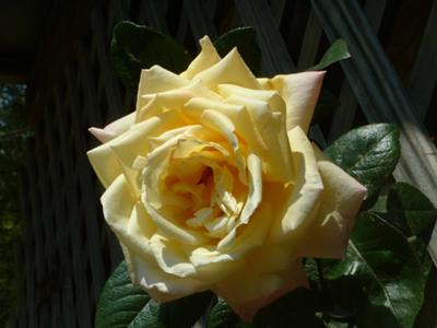 this is a peace rose for you to enjoy